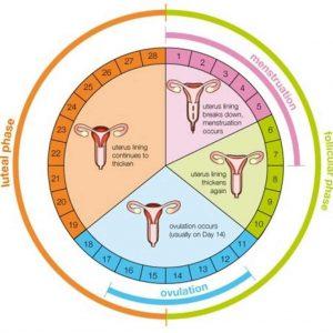 تعیین-زمان-دقیق-تخمک-گذاری-چرخه